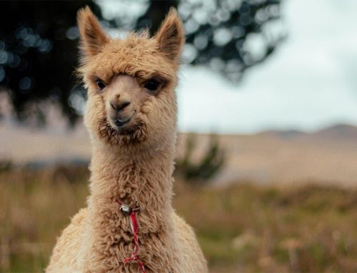 An alpaca walks into a French optician's