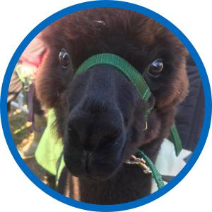 Lukas The Alpaca